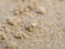 Close up horn-eyed ghost crab Stock Photo