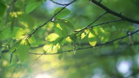 Close up of hornbeam twig with spider web in 4k stock footage