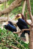 A close-up of the hornbill. A hornbill with large bird pecking Royalty Free Stock Photos