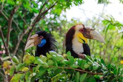 A close-up of the hornbill. A hornbill with large bird pecking Stock Image