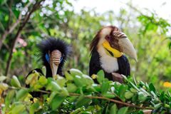 A close-up of the hornbill. A hornbill with large bird pecking Stock Photo