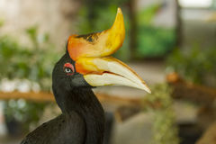 Close up Hornbills bird Royalty Free Stock Image