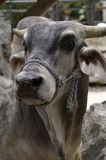 Close-up of Horned Brahman Cow Royalty Free Stock Photo