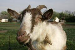 Close-up Horned da cabra Fotografia de Stock Royalty Free