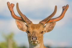 Close up horned deer buck portrait with blue sky background Royalty Free Stock Image