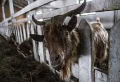Close-up horned goat in farm pen stock photography