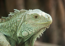 Close up of a Horned Lizard Stock Photography