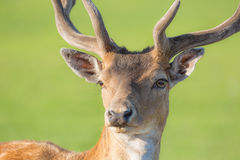 Close up horned young deer buck portrait with green blurry background Royalty Free Stock Photos