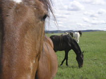 Close-up horse. Close-up of horse with herd behind Royalty Free Stock Photo