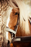 Close up of a horse. A close up of a horse behind the tree Royalty Free Stock Image