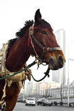 Close up of  horse. A horse stand on the street Royalty Free Stock Photography