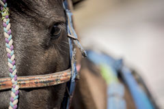 Close up Horse from Bromo Mountain Java ,Indonesia. Royalty Free Stock Images