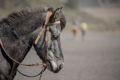 Close up Horse from Bromo Mountain Java ,Indonesia. Royalty Free Stock Photo