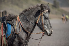 Close up Horse from Bromo Mountain Java ,Indonesia. Royalty Free Stock Photos