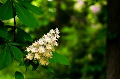 Close-up of Horse-chestnut Aesculus hippocastanum Conker tree flowers and leaves on a green background Royalty Free Stock Image