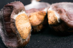 Close up horse chestnut or conker Stock Photography