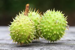 Horse-chestnuts macro Stock Images