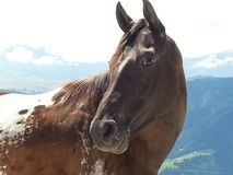 Close up of a horse in Dolomiti mountains Stock Image
