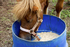 Close up of horse eating from bucket. Stock Image