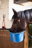 Close up of horse eating food. In bucket at stable Royalty Free Stock Images
