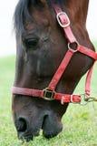 Close up of horse eating grass Stock Photos