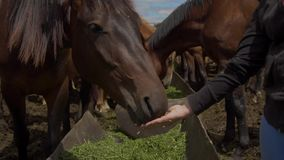 Close up on horse eating from woman hand stock footage