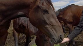 Close up on horse eating from woman hand