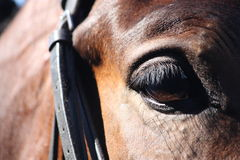 Close up of horse eye with bridle Royalty Free Stock Photography