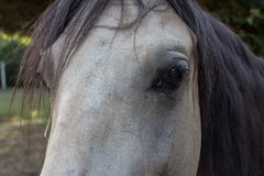 Close-up of horse eye on dun-coloured horse royalty free stock photos