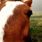 Close Up of a Horse Face and Eye. Close up of a brown horse face and eye with a foggy pasture in the background stock photography