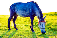 A close-up of a horse on the grassland Royalty Free Stock Image