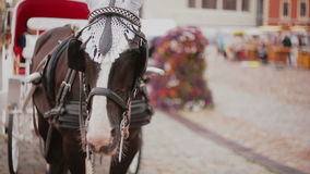 A close-up of horse harnessed to a beautiful festive carriage that is standing on a cobbled square. stock video footage