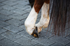 Close up of horse hoof with horseshoe. In a rest Royalty Free Stock Image