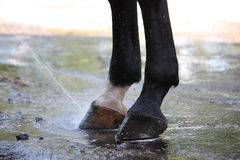 Close up of horse hoofs during washing Royalty Free Stock Photo