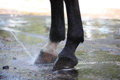 Close up of horse hoofs during washing. Close up of horse hoofs being washed with water flow Stock Photography