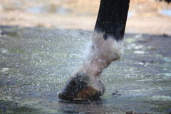Close up of horse hoofs during washing. Close up of horse hoofs being washed with water flow Royalty Free Stock Images