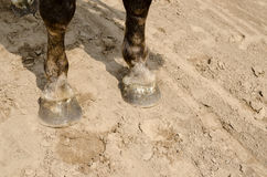 Close up of horse hooves on sand Royalty Free Stock Image