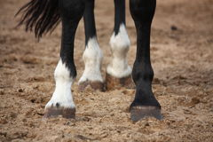 Close up of horse legs Stock Photo