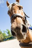 Close-up of a horse looking at the camera.  Royalty Free Stock Photography