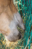 Close up of the horse mouth eating hey Royalty Free Stock Photos