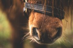 Close-up of Horse Nose Stock Photography