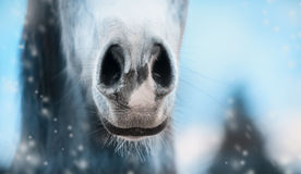 Close up of horse nose on winter nature background. Close up of horse nose on winter  blurred nature background, banner Royalty Free Stock Image