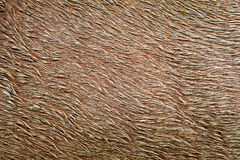 Close-up of horse pelt covered in mud Royalty Free Stock Photo