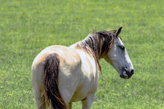 Close up of horse from rear. Close up of a grulla horse viewed from the rear with green grass background stock photo