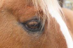 Close Up of horse's eye Stock Image