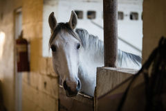Close up of horse in stable. Close up of horse looking away in stable Royalty Free Stock Photo