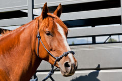 Close Up of Horse by a Trailer. A close up of a reddish brown horse tied with a blue rope halter to a horse trailer Stock Images