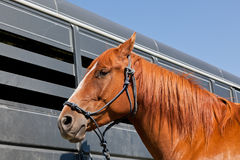 Close Up of Horse by a Trailer. A close up of a reddish brown horse tied with a blue rope halter to a horse trailer Stock Photo