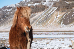 Close-up horse in winter with copy space. Close up horse in winter with copy space Stock Photo