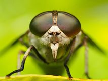 Close up Horsefly, Tabanidae insect hunter. Tabanidae Horsefly closeup insect hunter macron Stock Images